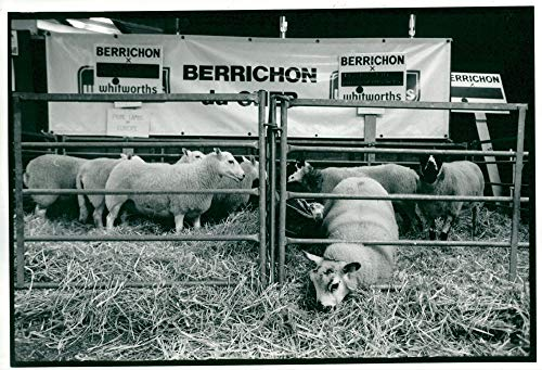 (Vintage photo of Sheep: royal welsh show.)