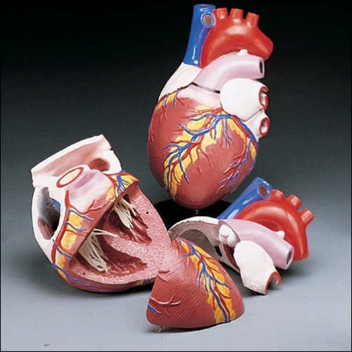 Anatomical Chart Co. Budget Jumbo Heart Model Item #: CH3