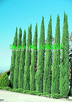 Tree seeds 100 pcs ITALIAN CYPRESS (Cupressus Sempervirens Stricta) seeds Home gardening,