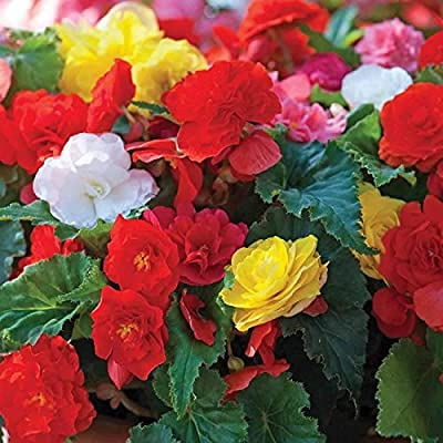 Pack x3 Begonia 'Non Stop Mixed' Quality Bulbs/Tubers: Garden & Outdoor