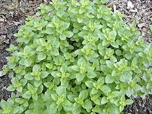 Oregano Seed, Italian, HERB Seed, Heirloom, Organic, 500 Seeds, Non GMO, Organo