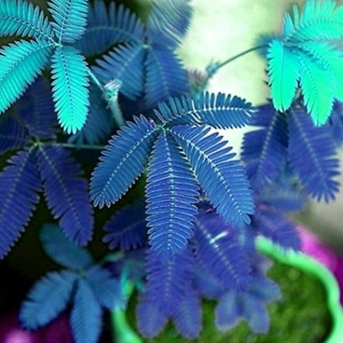 Iekofo Seed house - Real Mimosa (Mimosa pudica) Seeds of Sensitive houseplants Sensitive Plant - Do not Touch me ()