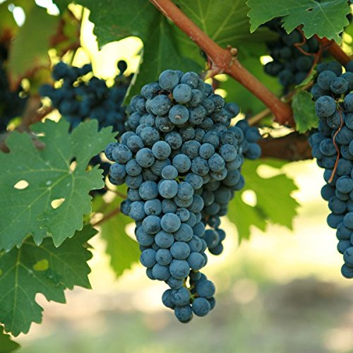 (1 Gallon) CABERNET SAUVIGNON Grape, is a small, round, black grape for wine-making, it is one of the most renowned red wine grapes. ()