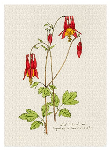(ARThouse Botanical Illustration of Wild Columbine from The Wildflowers Group, Giclee Print, 7 X 9.5 Inches)