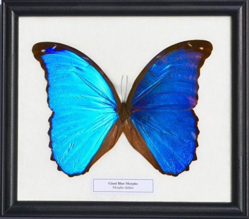 REAL MORPHO DIDIUS GIANT BLUE MORPHO BUTTERFLY FRAME INSECT TAXIDERMY (Garden Lounge San Antonio)
