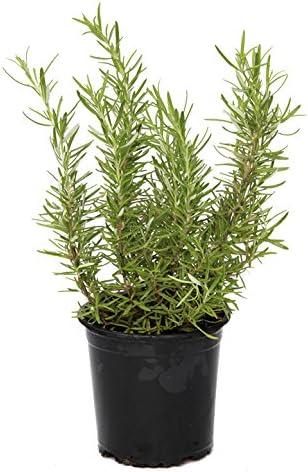 Outlet Garden - Romero - Rosmarinus Officinalis. Planta Aromática, Altura: 30 Centimetros Aproximado, Contenedor: 14 Cm. Envios Solo Peninsula: Amazon.es: Jardín
