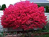 Dwarf Burning Bush Plant 4' Pot Hardy Shrub (Euonymus Alatus)