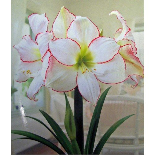 Picotee Amaryllis Bulb - Single Blooming Amaryllis, Easy to Grow Bulbs by Daylily Nursery