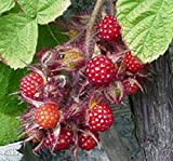 5 Wineberry Plants ! Rubus phoenicolasius. Live Plants, Nice Roots Wrapped in Wet Chips