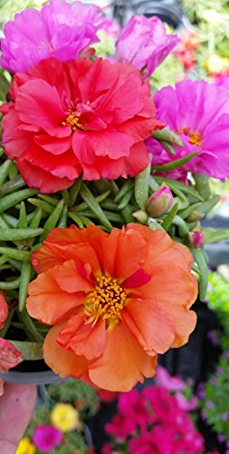 Portulaca Moss Rose 100 Magic Carpet Double Mixed Colors Seeds, VERY COLORFUL! ! Carpet Rose