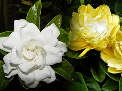 Amazon rare golden magic gardenia changes color from ivory rare golden magic gardenia changes color from ivory to yellowgold mightylinksfo