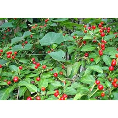 Heirloom Chile CHILTEPIN CHILI PEPPER SEEDS : Garden & Outdoor