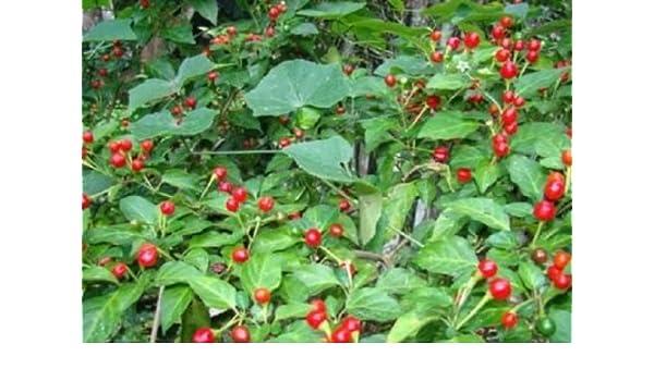 Amazon com : Heirloom Chile CHILTEPIN CHILI PEPPER SEEDS : Garden