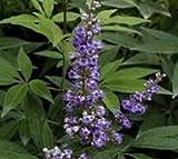 Shoal Creek Vitex ( chaste tree ) - Live Plant - Trade Gallon Pot