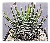 Haworthia attenuata - Zebra Cactus - 3 Seeds
