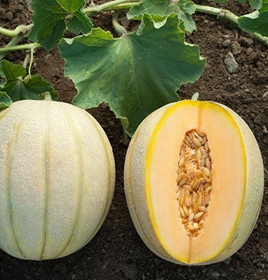 David's Garden Seeds Fruit Cantaloupe Halona D2488 (Orange) 50 Hybrid Seeds