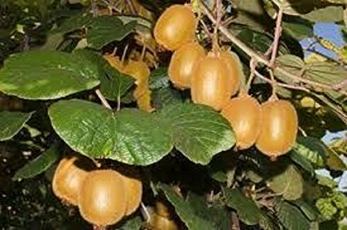 colander grape - 8