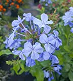 Plumbago Imperial Blue Live Plants 7 to 10 Inches Tall Gallon Size GND081