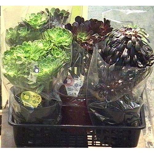 プランツネット 観葉植物 サンシモン(黒法師) MIX 6号 K0104586 5個入 B07JXR238N