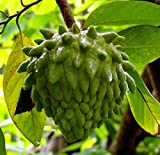 Atemoya (African Pride) Tropical Fruit Trees