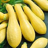 David's Garden Seeds Squash Summer Amberpic SL8455 (Yellow) 50 Non-GMO, Hybrid Seeds