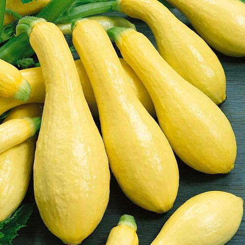 David's Garden Seeds Squash Summer Amberpic SL8455 (Yellow) 50 Non-GMO, Hybrid Seeds