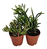 "Drunkard's Dream Cactus - Rhipsalis - 2"" Pots 2 Pack - Easy to Grow House Plant"