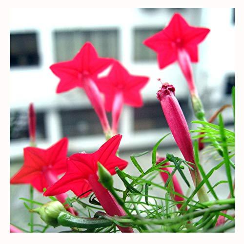 CYH YI Xuan - Cypress Vine 150 Seeds Easy to -