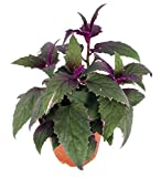 "Purple Passion - 4"" pot - EROTIC - Gynura - Indoors"
