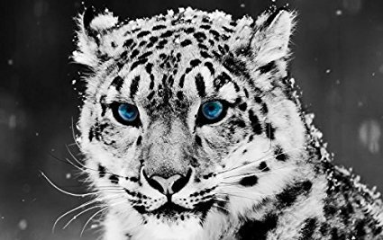 TSlook Poster Print on Canvas wall decorations paintings for living room, bedroom snow leopard black and white portrait 24x36 inches Unframed