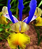 Dutch Iris Miss Saigon (16 Bulbs),Summer flowering, Perennial-Now Shipping !