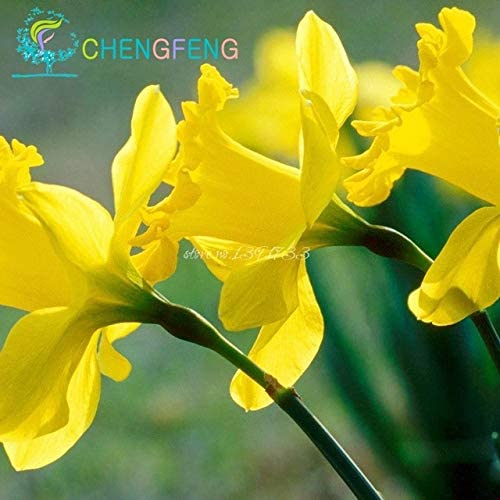 Green Seeds Co. 100 Graines plantas perennes de Lila Tree Garden Pots Plantas de flores raras, Semillas Bonsai Para Tohum Jardin Plantas Bonsai Easy Pl: Light Green: Amazon.es: Jardín