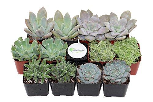 Shop Succulents Premium Pastel Succulent (Collection of 12)
