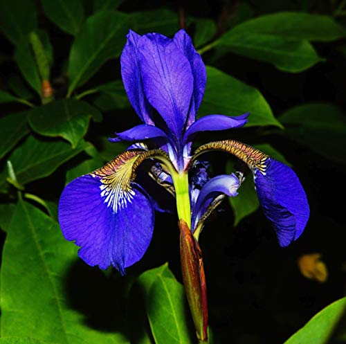 David's Garden Seeds Flower Iris Wild Blue American Native SL7611 (Blue) 100 Non-GMO, Open Pollinated Seeds
