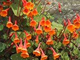 Mashua Plants - Organic - Tropaeolum tuberosum – Tuberous Climbing Nasturtium, añu, or cubio plant (5 Plants)