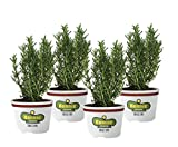 Bonnie Plants Rosemary (4 Pack) Live Plants