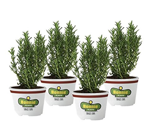 Bonnie Plants Rosemary  4 Pack  Live Plants