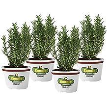 Bonnie Plants Rosemary (4 Pack) Live Plants