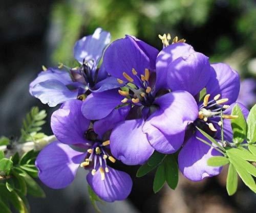 Portal Cool Guaiacum Officinale - Lignum Vitae - Rare Tropical Plant Tree Seeds - Vitae Lignum Tree