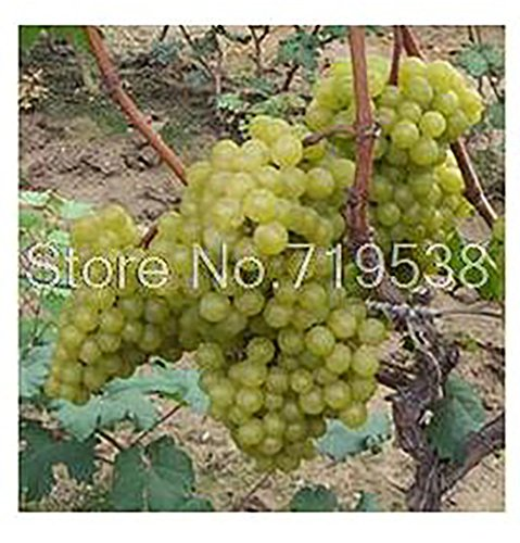 Yongyut Seed Fruit Fruit Tree Seedlings Potted Kyoho Grape Red Table Grapes Grape Seedlings Seeds 20 Seeds