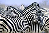zebra print wall pics - Imagekind Wall Art Print entitled Burchell's Zebra by Design Pics | 16 x 11
