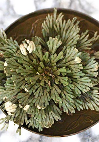 Jumbo Rose of Jericho Resurrection Fern Decorative Live Plant