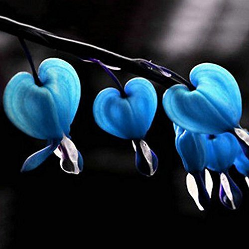 10Pcs Seeds Herbs Dicentra Spectabilis Flower Plant Bleeding Heart - Blue ()
