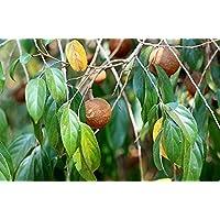20 semillas Hydnocarpus pentandrus, semillas de almendra silvestres, semillas de chilmoria pentandra, semillas…