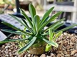 "Euphorbia Japonica, Like Euphorbia bupleurifolia, Succulent, Rare Succulent Plant, Caudex, Bonsai, 4"" Pot Size"