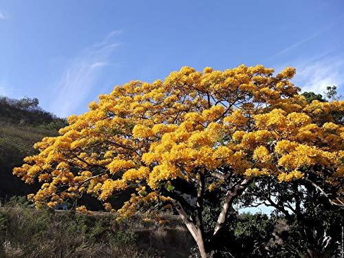 (10 Seeds DELONIX REGIA Yellow FLAMBOYAN Royal Poinciana ECC)