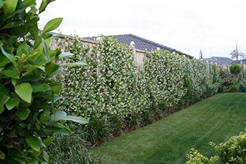Gelsomino trachelospermum jasminoides per balcone e patio vaso
