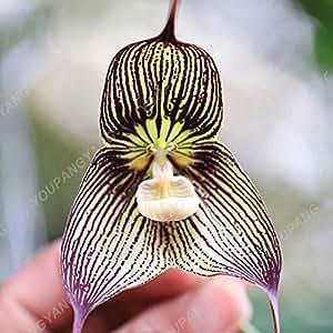 50PCS orquídeas de semillas semillas de Bonsai de flores para las semillas de orquídea Phalaenopsis casa jardín con flores plantas en macetas para el jardín de rosa
