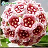 100 Seeds Ball Orchid Flower Seeds Perennial Hoya Carnosa 4 #32673783789ST