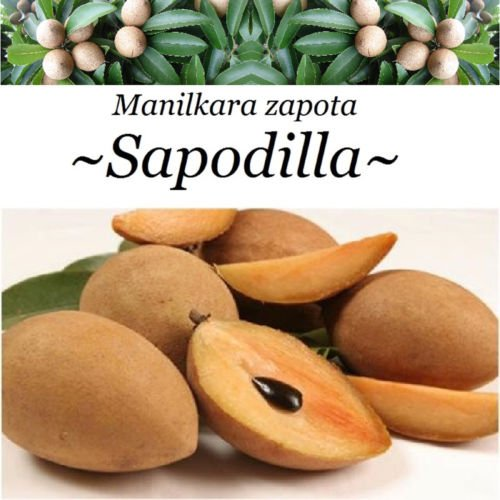SAPODILLA~ Manilkara zapota Chico Sapote Nispero Live Small Pot'd Starter Plant by 7_heads
